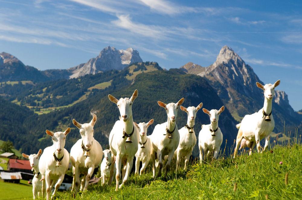 12 Naturerlebnis Saanen Ziegen Hotel Hornberg Gstaad Capre Boer Vanzare